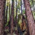 Redwoods on the La Corona Trail.- La Corona Trail Hike