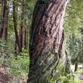 Twisted tree along the La Corona Trail.- La Corona Trail Hike
