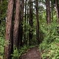 Redwood trees along the Branceforte Creek Trail.- Branciforte Creek Trail Hike