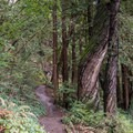 Twisted tree off of La Corona Trail.- Redwood Lower Loop Hike