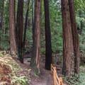 Hiking Lower Redwood Loop Trail.- Redwood Lower Loop Hike