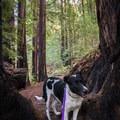 Dog-friendly hike on the Lower Redwood Loop Trail.- Redwood Lower Loop Hike
