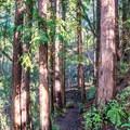 Redwoods along the Upper DeLaveaga Loop.- Upper DeLaveaga Loop Hike