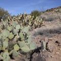 Desert prickly pear (Opuntia engelmannii) along the trail.- Black Cross Butte Hike