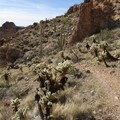 A few stands of Cholla (Cylindropuntia bigelovii) are very close to the trail.- Black Cross Butte Hike