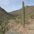 Saguaro (Carnegiea gigantea) are abundant in the lower part of Telegraph Pass.- Telegraph Pass Hike