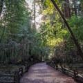 Starting down the Redwood Grove Loop Trail.- Redwood Grove Loop Hike