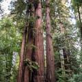Coast redwood (Sequoia sempervirens).- Redwood Grove Loop Hike