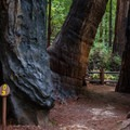 Old-growth redwoods.- Redwood Grove Loop Hike