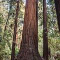 Fremont Tree along the Redwood Grove Loop Trail.- Redwood Grove Loop Hike
