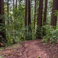 Redwoods on the River Trail.- River Trail Hike