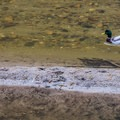 A Mallard Duck on the San Lorenzo.- River Trail Hike