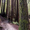 Redwoods along the Eagle Creek Trail.- Eagle Creek Trail Hike