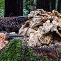 Huge fungus mass growing out of a dead redwood stump.- Eagle Creek Trail Hike