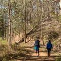 Fragrant eucalyptus groves.- Old Pedro Mountain Road