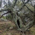 Heritage oak tree.- Ring Mountain Preserve Hike