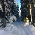 Perfect snow through the old-growth forest en route to the White River Hut.- White River Hut Cross-Country Ski