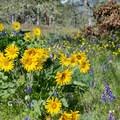 Arrowleaf balsamroot and lupine in the Memaloose Hills.- Memaloose Hills Trail