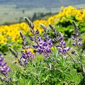 Lupine in the Memaloose Hills.- Memaloose Hills Trail