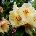 Rhododendron in Crystal Springs Rhododendron Gardens.- Crystal Springs Rhododendron Garden