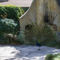 A peacock on full display.- Los Angeles County Arboretum + Botanic Garden
