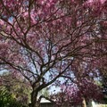 Under the canopy of a blooming tree.- Los Angeles County Arboretum + Botanic Garden