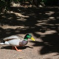 Mallard near Baldwin Lake.- Los Angeles County Arboretum + Botanic Garden