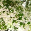 Blossoms of a fringe tree.- Los Angeles County Arboretum + Botanic Garden