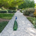 Peacock along the path in the Herb Garden.- Los Angeles County Arboretum + Botanic Garden