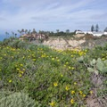 Bush sunflower in abundance.- Scripps Coastal Reserve