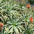 Aloe.- Niguel Botanical Preserve