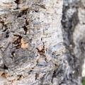 Cork tree.- Niguel Botanical Preserve