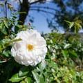 Rose.- Niguel Botanical Preserve
