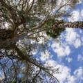 Eucalyptus and palm trees.- Niguel Botanical Preserve
