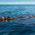 Kelp beds on the way toward the La Jolla Sea caves.- La Jolla Shores