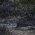 Black-tailed jackrabbit (Lepus californicus).- Twin Tanks Backcountry Campsites