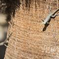 Desert spiny lizard (Sceloporus magister) at Cottonwood Springs.- Cottonwood Springs Nature Trail - Mastadon Peak Loop
