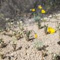 Mojave poppy (Eschscholzia glyptosperma).- Cottonwood Springs Nature Trail - Mastadon Peak Loop