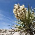 Mojave yucca (Yucca schidigera) along the Cottonwood Springs Nature Trail.- Cottonwood Springs Nature Trail - Mastadon Peak Loop