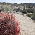 California barrel cactus (Ferocactus cylindraceus).- Cottonwood Springs Nature Trail - Mastadon Peak Loop