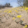 Yellow cups (Chylismia brevipes).- Cottonwood Springs Nature Trail - Mastadon Peak Loop