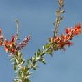 Ocotillo (Fouquieria splendens) along the Cottonwood Springs Nature Trail.- Cottonwood Springs Nature Trail - Mastadon Peak Loop