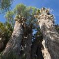 California fan palms (Washingtonia filifera) within the Cottonwood Springs Oasis.- Cottonwood Springs Nature Trail - Mastadon Peak Loop