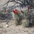 Mojave mound cactus (Echinocereus mojavensis).- Wall Street Mill Hike