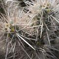 Chuckwalla cholla (Cylindropuntia chuckwallensis).- Wall Street Mill Hike