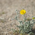 Woolly desert marigold (Baileya pleniradiata).- Wall Street Mill Hike
