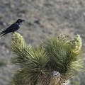 Common raven (Corvus corax) on a Joshua tree (Yucca brevifolia) along the Wall Street Mill Hike.- Wall Street Mill Hike