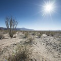 Ocotillo Patch, Joshua Tree National Park.- Ocotillo Patch