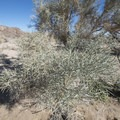 Smoketree (Psorothamnus spinosus) near the Ocotillo Patch in Pinto Basin, Joshua Tree National Park.- Ocotillo Patch