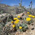 Mojave poppy (Eschscholzia glyptosperma).- Lost Horse Mine Hike